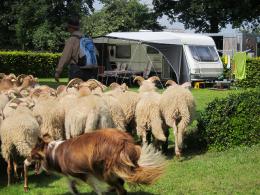 Herder op de camping